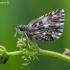 Mažoji hesperija - Pyrgus malvae | Fotografijos autorius : Žilvinas Pūtys | © Macrogamta.lt | Šis tinklapis priklauso bendruomenei kuri domisi makro fotografija ir fotografuoja gyvąjį makro pasaulį.