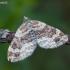 Rūdžiajuostė cidarija - Xanthorhoe ferrugata | Fotografijos autorius : Žilvinas Pūtys | © Macrogamta.lt | Šis tinklapis priklauso bendruomenei kuri domisi makro fotografija ir fotografuoja gyvąjį makro pasaulį.