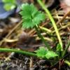 Šliaužiantysis vėdrynas - Ranunculus repens | Fotografijos autorius : Ramunė Vakarė | © Macrogamta.lt | Šis tinklapis priklauso bendruomenei kuri domisi makro fotografija ir fotografuoja gyvąjį makro pasaulį.