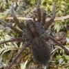 Šuolininkas - Pardosa sp.  | Fotografijos autorius : Gintautas Steiblys | © Macrogamta.lt | Šis tinklapis priklauso bendruomenei kuri domisi makro fotografija ir fotografuoja gyvąjį makro pasaulį.