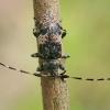 Dvyninis margūnas - Leiopus linnei | Fotografijos autorius : Gintautas Steiblys | © Macrogamta.lt | Šis tinklapis priklauso bendruomenei kuri domisi makro fotografija ir fotografuoja gyvąjį makro pasaulį.