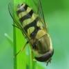 Serbentinė žiedmusė - Syrphus ribesii   Fotografijos autorius : Vidas Brazauskas   © Macrogamta.lt   Šis tinklapis priklauso bendruomenei kuri domisi makro fotografija ir fotografuoja gyvąjį makro pasaulį.