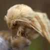 Žolinis verpikas - Malacosoma castrensis   Fotografijos autorius : Ramunė Vakarė   © Macrogamta.lt   Šis tinklapis priklauso bendruomenei kuri domisi makro fotografija ir fotografuoja gyvąjį makro pasaulį.