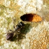 Žiedvapsvė - Crossocerus megacephalus | Fotografijos autorius : Romas Ferenca | © Macrogamta.lt | Šis tinklapis priklauso bendruomenei kuri domisi makro fotografija ir fotografuoja gyvąjį makro pasaulį.