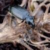 Žvitražygis - Agonum micans | Fotografijos autorius : Romas Ferenca | © Macrogamta.lt | Šis tinklapis priklauso bendruomenei kuri domisi makro fotografija ir fotografuoja gyvąjį makro pasaulį.