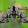 Akiuotasis sfinksas - Smerinthus ocellatus   Fotografijos autorius : Žilvinas Pūtys   © Macrogamta.lt   Šis tinklapis priklauso bendruomenei kuri domisi makro fotografija ir fotografuoja gyvąjį makro pasaulį.