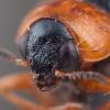 Karklinė smaragdina - Smaragdina salicina | Fotografijos autorius : Žilvinas Pūtys | © Macrogamta.lt | Šis tinklapis priklauso bendruomenei kuri domisi makro fotografija ir fotografuoja gyvąjį makro pasaulį.