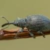 Apionas - Betulapion simile | Fotografijos autorius : Žilvinas Pūtys | © Macrogamta.lt | Šis tinklapis priklauso bendruomenei kuri domisi makro fotografija ir fotografuoja gyvąjį makro pasaulį.