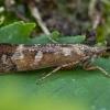 Apsiuva - Limnephilus griseus ♀ | Fotografijos autorius : Žilvinas Pūtys | © Macrogamta.lt | Šis tinklapis priklauso bendruomenei kuri domisi makro fotografija ir fotografuoja gyvąjį makro pasaulį.