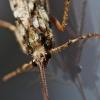 Apsiuva - Phryganea grandis | Fotografijos autorius : Agnė Našlėnienė | © Macrogamta.lt | Šis tinklapis priklauso bendruomenei kuri domisi makro fotografija ir fotografuoja gyvąjį makro pasaulį.