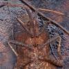 Arkliarūgštinė kampuotblakė - Coreus marginatus | Fotografijos autorius : Žilvinas Pūtys | © Macrogamta.lt | Šis tinklapis priklauso bendruomenei kuri domisi makro fotografija ir fotografuoja gyvąjį makro pasaulį.