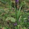 Aukštoji gegūnė - Dactylorhiza fuchsii | Fotografijos autorius : Gintautas Steiblys | © Macrogamta.lt | Šis tinklapis priklauso bendruomenei kuri domisi makro fotografija ir fotografuoja gyvąjį makro pasaulį.