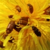 Avietinukas - Byturus ochraceus   Fotografijos autorius : Ramunė Vakarė   © Macrogamta.lt   Šis tinklapis priklauso bendruomenei kuri domisi makro fotografija ir fotografuoja gyvąjį makro pasaulį.