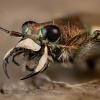 Baltalūpis šoklys - Cicindela hybrida | Fotografijos autorius : Eugenijus Kavaliauskas | © Macrogamta.lt | Šis tinklapis priklauso bendruomenei kuri domisi makro fotografija ir fotografuoja gyvąjį makro pasaulį.