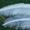 Baltasis pirštasparnis - Pterophorus pentadactyla   Fotografijos autorius : Žilvinas Pūtys   © Macrogamta.lt   Šis tinklapis priklauso bendruomenei kuri domisi makro fotografija ir fotografuoja gyvąjį makro pasaulį.