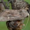 Baltataškis pelkinukas - Helotropha leucostigma | Fotografijos autorius : Žilvinas Pūtys | © Macrogamta.lt | Šis tinklapis priklauso bendruomenei kuri domisi makro fotografija ir fotografuoja gyvąjį makro pasaulį.