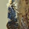 Beržinė eriokranija - Eriocrania salopiella   Fotografijos autorius : Arūnas Eismantas   © Macrogamta.lt   Šis tinklapis priklauso bendruomenei kuri domisi makro fotografija ir fotografuoja gyvąjį makro pasaulį.