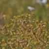 Bevainikė ramunė - Matricaria discoidea | Fotografijos autorius : Kęstutis Obelevičius | © Macrogamta.lt | Šis tinklapis priklauso bendruomenei kuri domisi makro fotografija ir fotografuoja gyvąjį makro pasaulį.