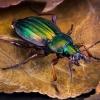 Auksaspalvis puošniažygis - Carabus auratus | Fotografijos autorius : Eugenijus Kavaliauskas | © Macrogamta.lt | Šis tinklapis priklauso bendruomenei kuri domisi makro fotografija ir fotografuoja gyvąjį makro pasaulį.