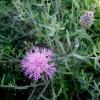 Didžiagalvė bajorė - Centaurea scabiosa | Fotografijos autorius : Aleksandras Stabrauskas | © Macrogamta.lt | Šis tinklapis priklauso bendruomenei kuri domisi makro fotografija ir fotografuoja gyvąjį makro pasaulį.