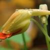 Didžioji nasturtė - Tropaeolum majus | Fotografijos autorius : Vidas Brazauskas | © Macrogamta.lt | Šis tinklapis priklauso bendruomenei kuri domisi makro fotografija ir fotografuoja gyvąjį makro pasaulį.