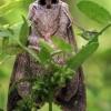 Didysis šviespilkis vėlyvis - Ammoconia caecimacula | Fotografijos autorius : Ramunė Vakarė | © Macrogamta.lt | Šis tinklapis priklauso bendruomenei kuri domisi makro fotografija ir fotografuoja gyvąjį makro pasaulį.