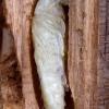 Didysis blizgiavabalis - Chalcophora mariana, lėliukė | Fotografijos autorius : Romas Ferenca | © Macrogamta.lt | Šis tinklapis priklauso bendruomenei kuri domisi makro fotografija ir fotografuoja gyvąjį makro pasaulį.