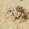 Didysis smėliašoklis - Yllenus arenarius | Fotografijos autorius : Agnė Našlėnienė | © Macrogamta.lt | Šis tinklapis priklauso bendruomenei kuri domisi makro fotografija ir fotografuoja gyvąjį makro pasaulį.