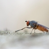 Heteromyza sp.   Fotografijos autorius : Zita Gasiūnaitė   © Macrogamta.lt   Šis tinklapis priklauso bendruomenei kuri domisi makro fotografija ir fotografuoja gyvąjį makro pasaulį.