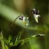 Dirvinė našlaitė - Viola arvensis | Fotografijos autorius : Vidas Brazauskas | © Macrogamta.lt | Šis tinklapis priklauso bendruomenei kuri domisi makro fotografija ir fotografuoja gyvąjį makro pasaulį.