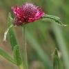 Šilinis dobilas - Trifolium medium | Fotografijos autorius : Gintautas Steiblys | © Macrogamta.lt | Šis tinklapis priklauso bendruomenei kuri domisi makro fotografija ir fotografuoja gyvąjį makro pasaulį.