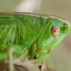 Dvispalvis spragtukas - Metrioptera bicolor ♀ | Fotografijos autorius : Žilvinas Pūtys | © Macrogamta.lt | Šis tinklapis priklauso bendruomenei kuri domisi makro fotografija ir fotografuoja gyvąjį makro pasaulį.