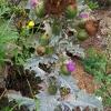 Dygliuotoji kardažolė - Onopordum acanthium | Fotografijos autorius : Gintautas Steiblys | © Macrogamta.lt | Šis tinklapis priklauso bendruomenei kuri domisi makro fotografija ir fotografuoja gyvąjį makro pasaulį.