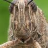 Egiptinis skėrys - Anacridium aegyptium   Fotografijos autorius : Gintautas Steiblys   © Macrogamta.lt   Šis tinklapis priklauso bendruomenei kuri domisi makro fotografija ir fotografuoja gyvąjį makro pasaulį.