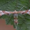 Erškėtinis pirštasparnis - Cnaemidophorus rhododactyla   Fotografijos autorius : Arūnas Eismantas   © Macrogamta.lt   Šis tinklapis priklauso bendruomenei kuri domisi makro fotografija ir fotografuoja gyvąjį makro pasaulį.