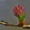 Europinis maumedis - Larix decidua | Fotografijos autorius : Kęstutis Obelevičius | © Macrogamta.lt | Šis tinklapis priklauso bendruomenei kuri domisi makro fotografija ir fotografuoja gyvąjį makro pasaulį.