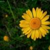 Geltonasis bobramunis - Anthemis tinctoria | Fotografijos autorius : Aleksandras Stabrauskas | © Macrogamta.lt | Šis tinklapis priklauso bendruomenei kuri domisi makro fotografija ir fotografuoja gyvąjį makro pasaulį.