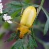 Geltonasis dulkiagraužis - Cteniopus sulphureus   Fotografijos autorius : Romas Ferenca   © Macrogamta.lt   Šis tinklapis priklauso bendruomenei kuri domisi makro fotografija ir fotografuoja gyvąjį makro pasaulį.