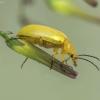 Geltonasis dulkiagraužis - Cteniopus sulphureus | Fotografijos autorius : Kazimieras Martinaitis | © Macrogamta.lt | Šis tinklapis priklauso bendruomenei kuri domisi makro fotografija ir fotografuoja gyvąjį makro pasaulį.