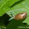 Didžioji gintarė (Succinea putris) & Parazitiniai kirminai Leucochloridium paradoxum | Fotografijos autorius : Aleksandras Naryškin | © Macrogamta.lt | Šis tinklapis priklauso bendruomenei kuri domisi makro fotografija ir fotografuoja gyvąjį makro pasaulį.