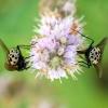 Graphomya maculata - Tikramusė | Fotografijos autorius : Žygimantas Obelevičius | © Macrogamta.lt | Šis tinklapis priklauso bendruomenei kuri domisi makro fotografija ir fotografuoja gyvąjį makro pasaulį.