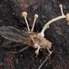 Grybas - Polycephalomyces cf. ramosus | Fotografijos autorius : Žilvinas Pūtys | © Macrogamta.lt | Šis tinklapis priklauso bendruomenei kuri domisi makro fotografija ir fotografuoja gyvąjį makro pasaulį.