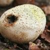 Paprastoji ankštenė - Scleroderma citrinum | Fotografijos autorius : Gintautas Steiblys | © Macrogamta.lt | Šis tinklapis priklauso bendruomenei kuri domisi makro fotografija ir fotografuoja gyvąjį makro pasaulį.