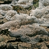 Minkštoji urvuotė - Datronia mollis | Fotografijos autorius : Gintautas Steiblys | © Macrogamta.lt | Šis tinklapis priklauso bendruomenei kuri domisi makro fotografija ir fotografuoja gyvąjį makro pasaulį.