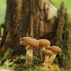 Paprastasis kelmutis - Armillaria mellea | Fotografijos autorius : Vidas Brazauskas | © Macrogamta.lt | Šis tinklapis priklauso bendruomenei kuri domisi makro fotografija ir fotografuoja gyvąjį makro pasaulį.