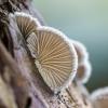 Paprastoji alksniabudė | Schizophyllum commune | Fotografijos autorius : Darius Baužys | © Macrogamta.lt | Šis tinklapis priklauso bendruomenei kuri domisi makro fotografija ir fotografuoja gyvąjį makro pasaulį.