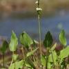 Gyslotinis dumblialaiškis – Alisma plantago-aquatica | Fotografijos autorius : Agnė Našlėnienė | © Macrogamta.lt | Šis tinklapis priklauso bendruomenei kuri domisi makro fotografija ir fotografuoja gyvąjį makro pasaulį.