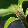 Ievinis eudemis - Ievinis lapsukis (Eudemis porphyrana), vikšras | Fotografijos autorius : Vaida Paznekaitė | © Macrogamta.lt | Šis tinklapis priklauso bendruomenei kuri domisi makro fotografija ir fotografuoja gyvąjį makro pasaulį.