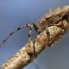 Ilgaūsis pušiagraužis - Acanthocinus aedilis | Fotografijos autorius : Agnė Našlėnienė | © Macrogamta.lt | Šis tinklapis priklauso bendruomenei kuri domisi makro fotografija ir fotografuoja gyvąjį makro pasaulį.