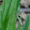 Ilgakojis uodas - Limnophila schranki | Fotografijos autorius : Romas Ferenca | © Macrogamta.lt | Šis tinklapis priklauso bendruomenei kuri domisi makro fotografija ir fotografuoja gyvąjį makro pasaulį.